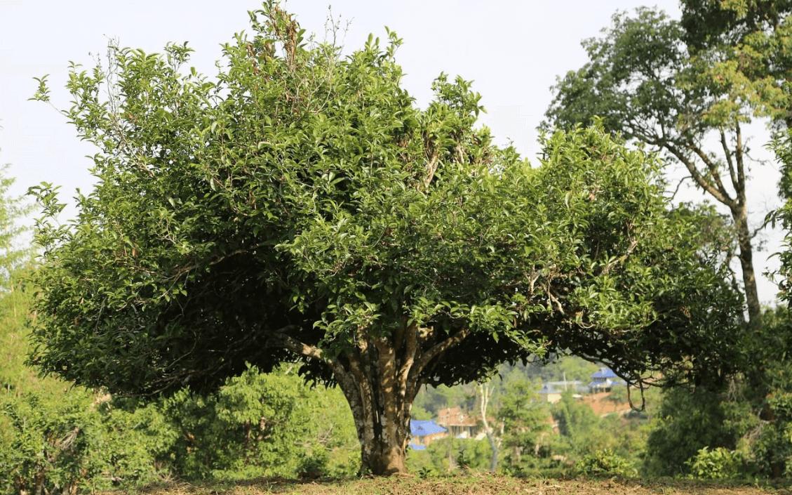 arbre à the
